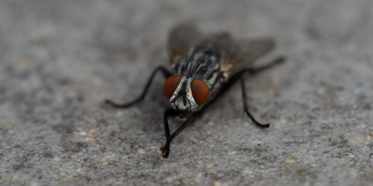 Macro Monday: Flesh Fly