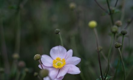Photo Funday: Pink Saucer Anemone