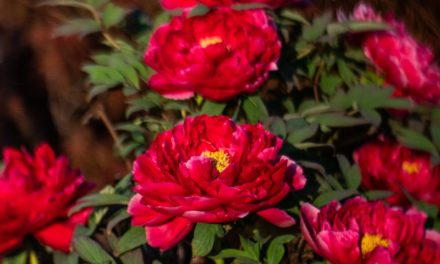 Glory Of The Bloom: Red Peony